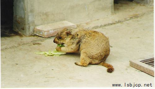 (北京灭鼠公司)鼠疫的流行病学和防治
